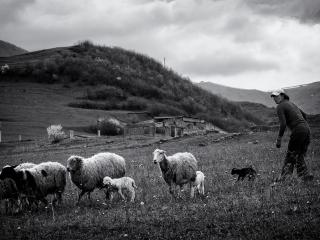 Ovce s pastierkou na úteku pred fotografom