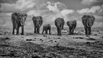 Big Family – Keňa, Tsavo-East, 2012