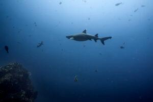Komodo – žraloky